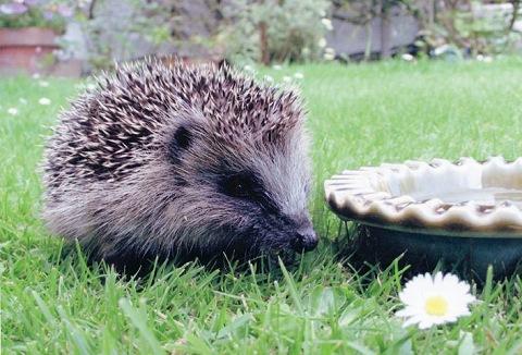 Link to the British Hedgehog Preservation Society website