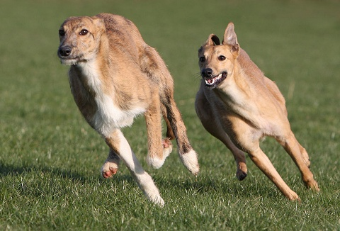 Link to the Ridgeside Falconry & Lurcher Racing website